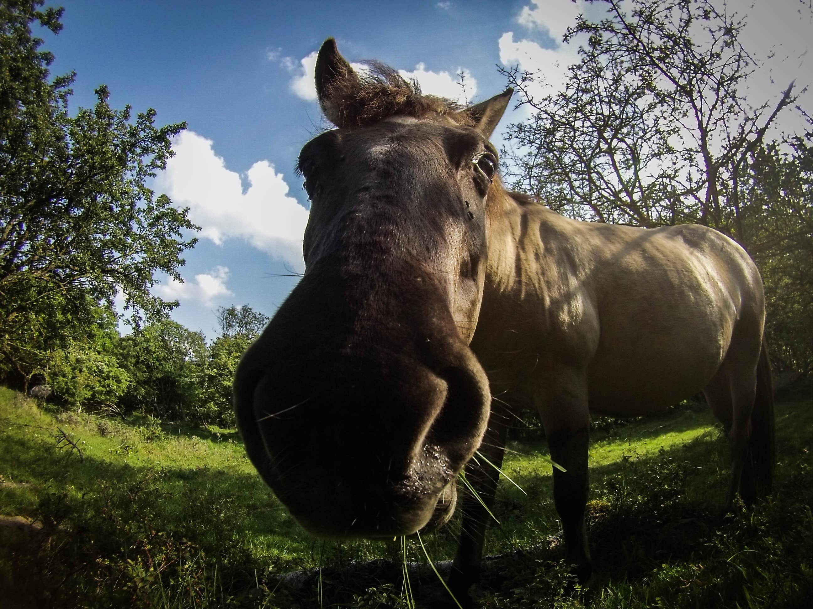 Wild konik horse